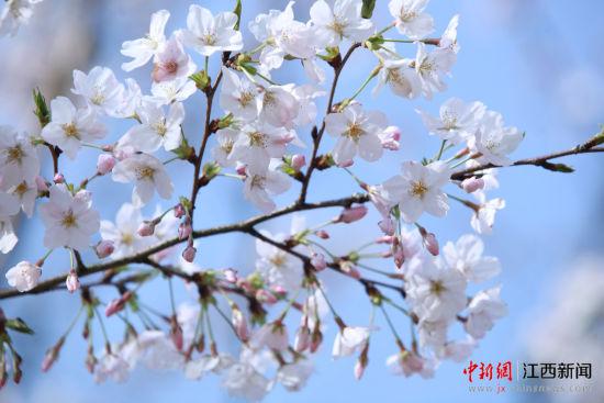 江西黄马凤凰沟景区樱花盛放迎来游客高峰