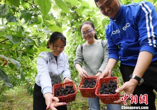 江南地区桑椹采摘正当时 亩产千斤满枝头