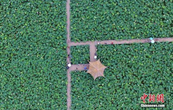 江西进贤2000亩莲花盛开 鸟瞰画面呈现几何美