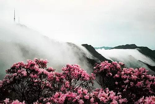 第八届井冈山杜鹃花节将于4月8日隆重开幕