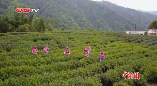 航拍:江西修水宁红茶园 倩女采茶山水间