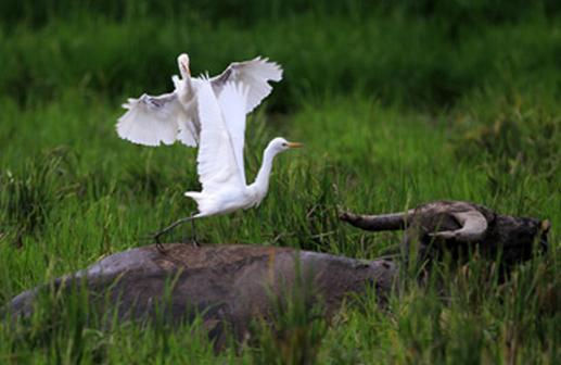 白鹭戏水牛(图)