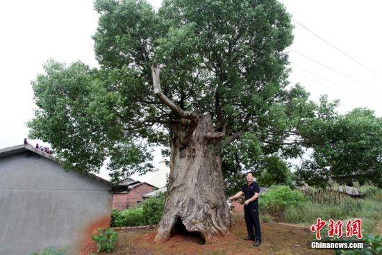"""龙8国际娱乐手机登录百年古樟肚里长出新树 成""""树中树""""景观"""