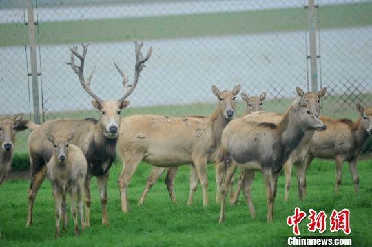 濒危动物麋鹿龙8国际娱乐手机登录鄱阳繁衍添丁