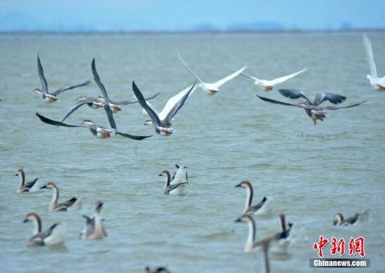 大批候鸟相继飞抵龙8国际娱乐手机登录鄱阳湖越冬 蔚为壮观
