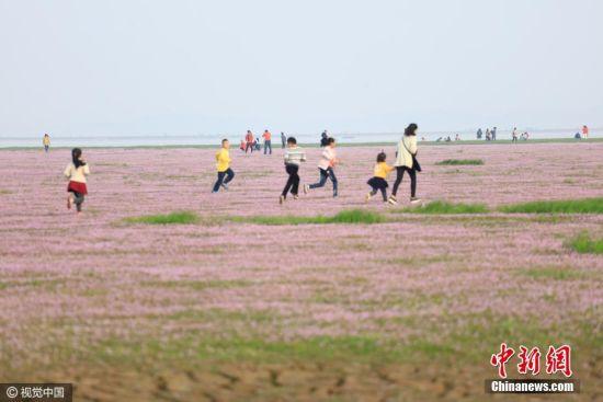 """鄱湖现""""蓼子花海"""" 上万市民赏花拥堵两公里"""