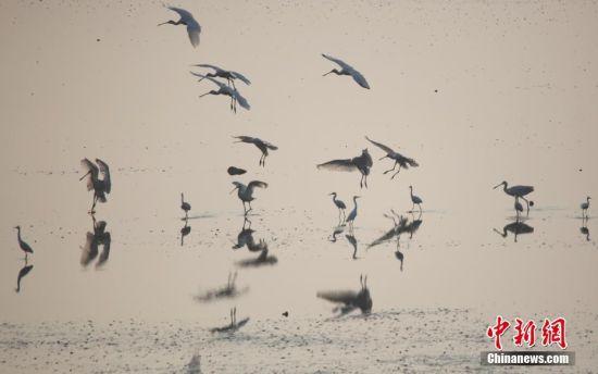 大批珍稀白琵鹭飞抵鄱阳湖湿地栖息越冬