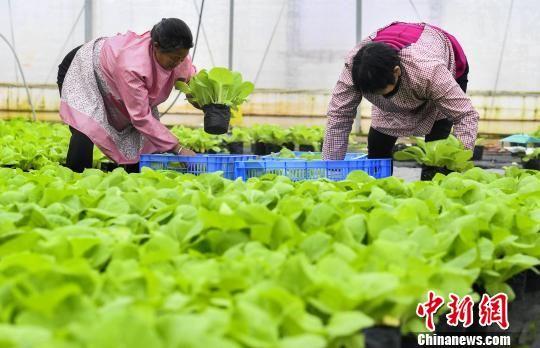 龙8国际娱乐手机登录新余:温室盆栽蔬菜成市民餐桌新宠