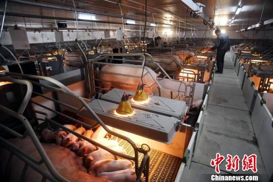 探访龙8国际娱乐手机登录首个现代化养猪场