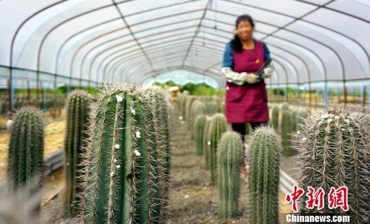 探访龙8国际娱乐手机登录德兴多肉植物种植基地