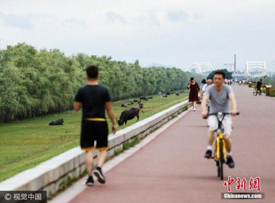 """龙8国际娱乐手机登录一公园成""""养牛场"""" 牛群湖堤上吃草"""