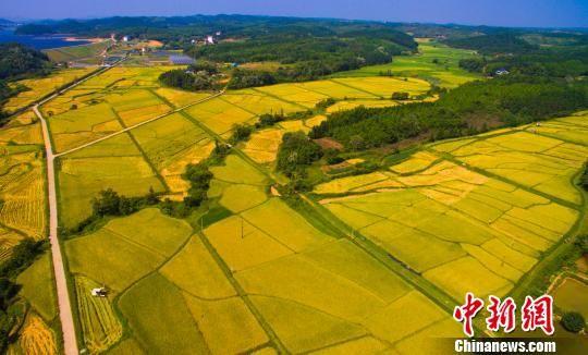 航拍注册送白菜网千亩有机水稻收割 一派丰收景象