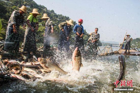 江西仙女湖:鱼跃人欢喜增收