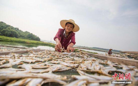 中国最大淡水湖鄱阳湖迎丰收季 湖面一派繁忙