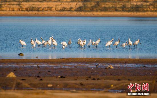 大批冬候鸟飞抵鄱阳湖栖息越冬