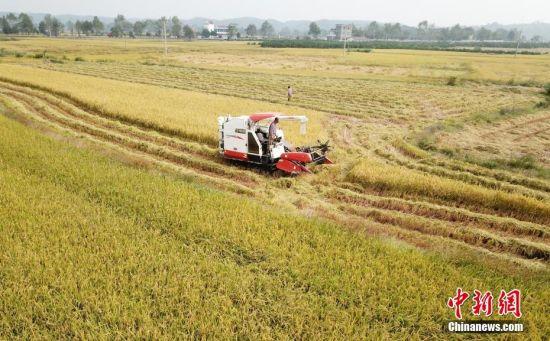 航拍注册送白菜网泰和金黄稻田 超级稻喜获丰收