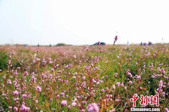 """中国最大淡水湖鄱阳湖""""蓼子花海""""景观再现"""