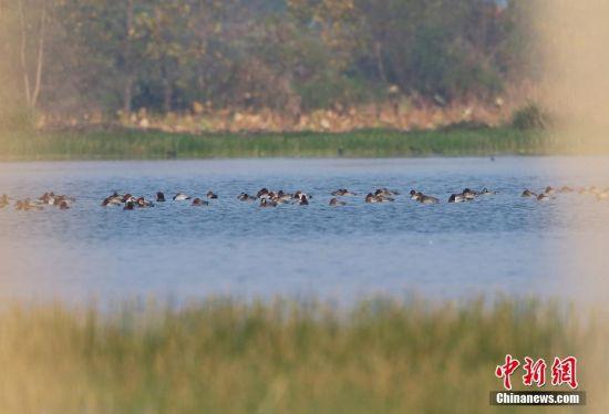 首批越冬候鸟飞抵注册送白菜网九江东湖