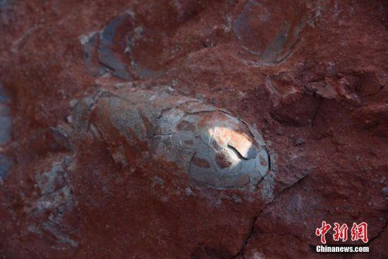 龙8国际娱乐手机登录一工地发现20余枚恐龙蛋化石