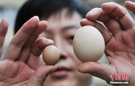 """铅山现""""迷你鸡蛋"""" 仅1元硬币大小"""