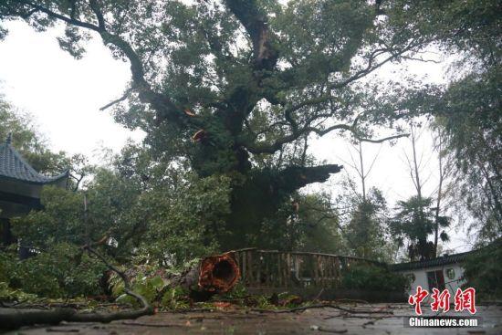 强对流天气致龙8国际娱乐手机登录千年古樟树受损严重