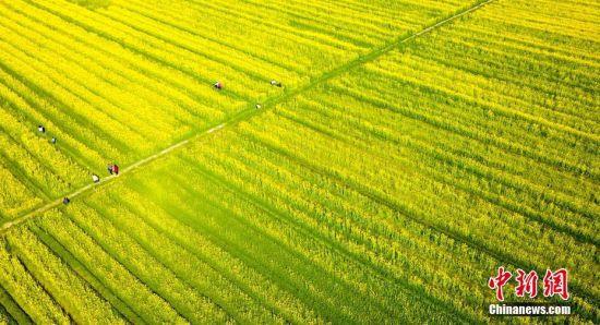 龙8国际娱乐手机登录仙女湖千亩油菜花迎春绽放