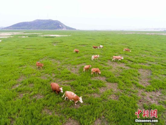 鄱阳湖水位持续下降 滩涂变身草原
