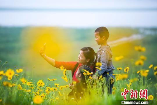 鄱阳湖畔金鸡菊盛开 蜂飞蝶舞醉游人