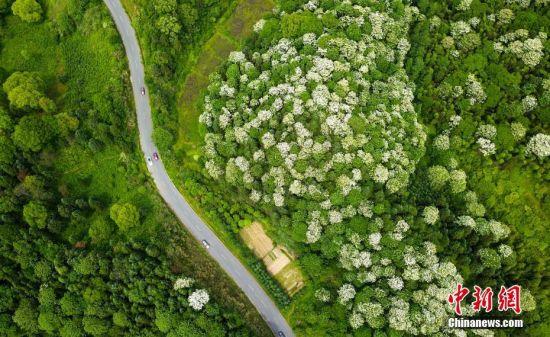 航拍龙8国际娱乐手机登录千亩泡桐花开如雪