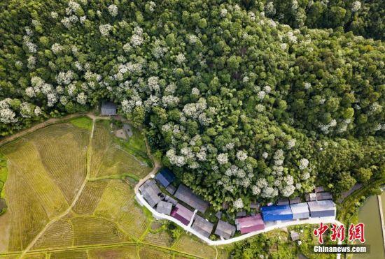航拍龙8国际娱乐手机登录宜丰野生泡桐林 花如雪点缀树丛