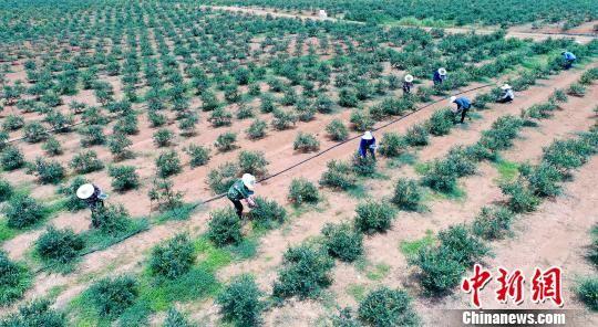 龙8国际娱乐手机登录千亩蓝莓进入采摘期 产值上亿销全国