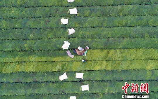 航拍注册送白菜网泰和夏茶开采 茶园利用机器采茶