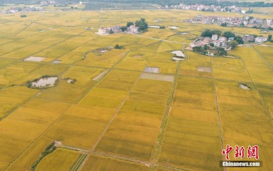 早稻进入收获季 航拍注册送白菜网泰和金色稻田丰收图