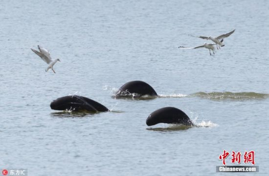 龙8国际娱乐手机登录鄱阳湖江豚戏水 一张笑脸超萌超可爱!
