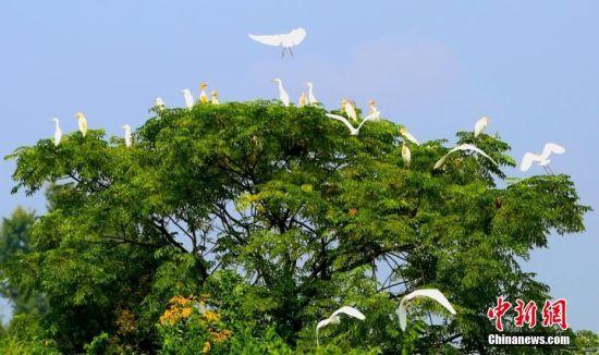注册送白菜网泰和良好生态吸引白鹭安家筑巢