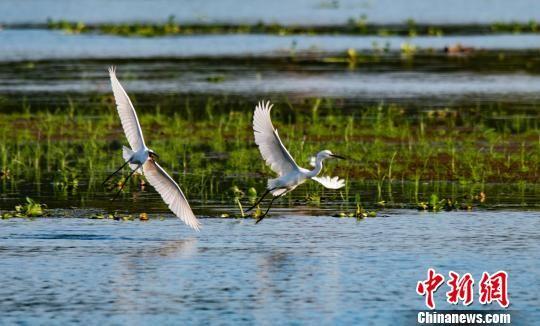 """龙8国际娱乐手机登录新余:城市湿地公园成""""鹭鸟王国"""""""