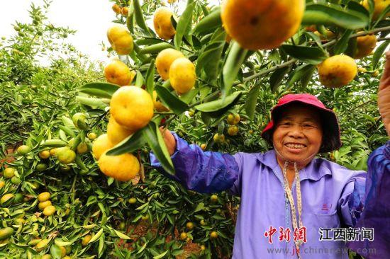 """龙8国际娱乐手机登录泰和:""""扶贫果""""丰收上市"""