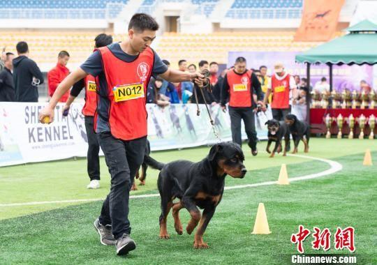 2018年中国罗威纳犬展在赣举行