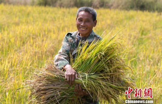 龙8国际娱乐手机登录千亩再生稻基地喜获丰收