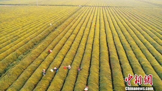 航拍泰和千亩茶园:整齐划一 壮观如画