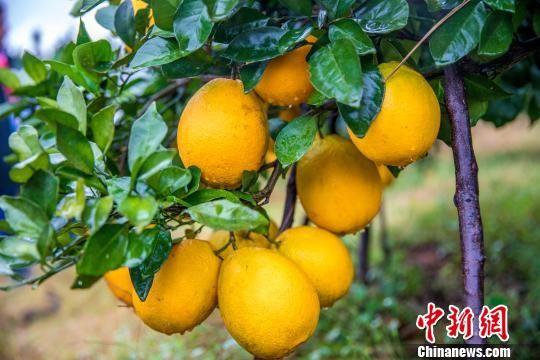 """""""世界橙乡""""龙8国际娱乐手机登录赣州迎脐橙丰收季"""