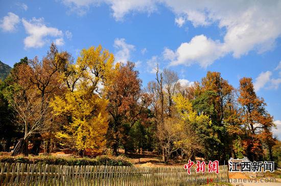 """龙8国际娱乐手机登录铅山千年银杏身披""""黄金甲"""" 引客来"""
