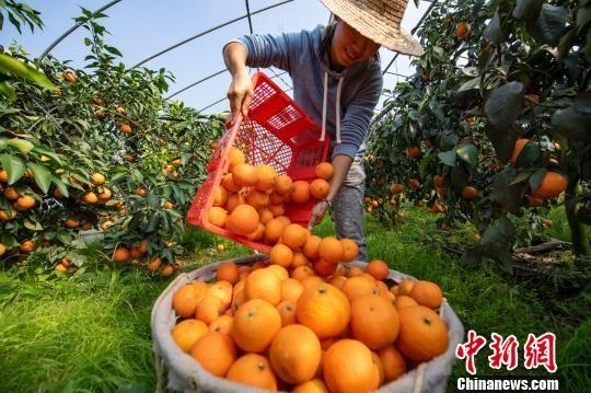 龙8国际娱乐手机登录大棚果冻橙种植基地迎丰收