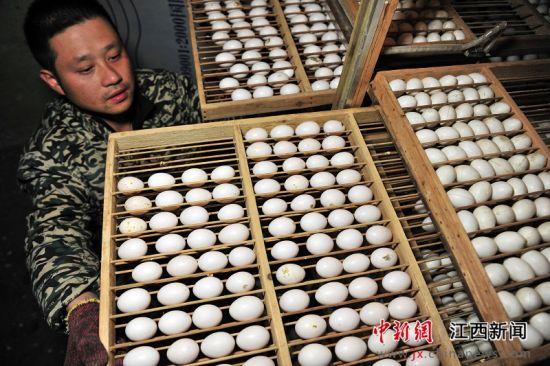 """龙8国际娱乐手机登录一乳鸽养殖基地年销售10万只""""扶贫鸽"""""""