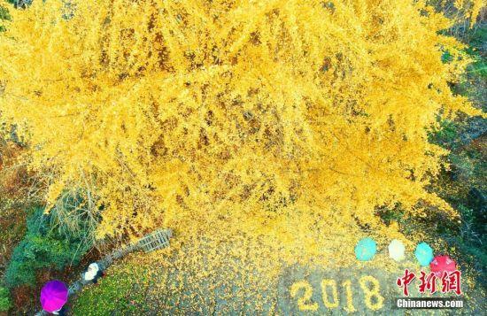 龙8国际娱乐手机登录泰和千年银杏披满金甲 吸引游客来