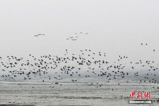 大批候鸟冬日栖息中国最大淡水湖鄱阳湖