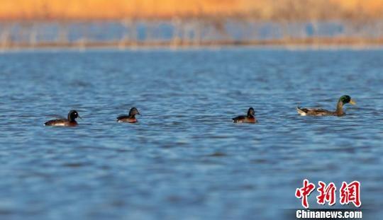 龙8国际娱乐手机登录余干发现全球极危鸟种青头潜鸭