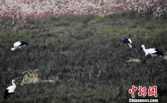 东方白鹳等候鸟飞抵鄱阳湖龙8国际娱乐网址水域越冬