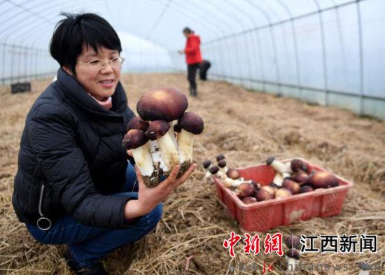 最大单个重超350克 大球盖菇在新余栽培成功
