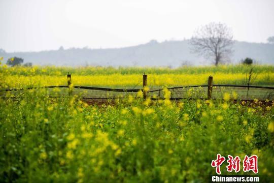 数千亩油菜花次第开放 注册送白菜网乡村春意渐浓